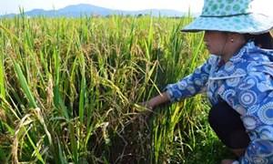 Quảng Bình: Hơn 1000 ha lúa bị bệnh đạo ôn