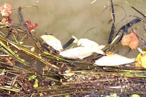 Quảng Nam: Hàng ngàn cá giống bị chết trên sông Tam Kỳ