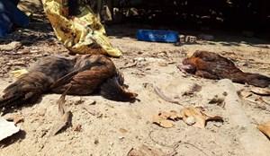 Quảng Nam: Tiêu hủy 4.000 con gia cầm nhiễm A/H5N6