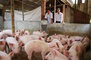 Quảng Nam: Triển khai các giải pháp phòng chống, khống chế dịch bệnh ở lợn