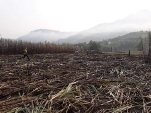 Quảng Ngãi: Cháy lớn thiêu rụi 2 ha mía của 11 hộ dân