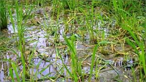 Quảng Ngãi: Nhiều diện tích lúa Đông Xuân bị chuột cắn phá