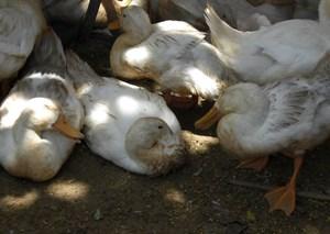 Quảng Ngãi tiêu hủy hơn 23.000 con gà, vịt mắc cúm