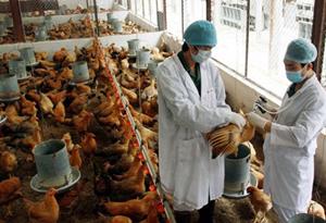 Quảng Ninh xuất hiện dịch cúm A/H5N1