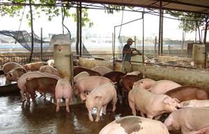 Quyết liệt ngăn chặn dịch tả lợn châu Phi