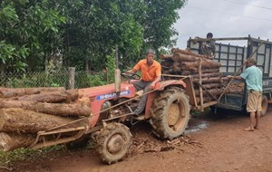 Phát hiện hàng trăm khúc gỗ thông bị chôn vùi