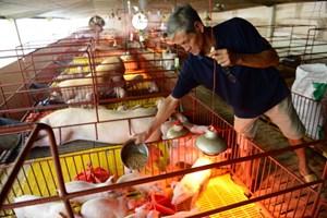 Rất ít hộ tham gia nhận diện, truy xuất nguồn gốc thịt lợn