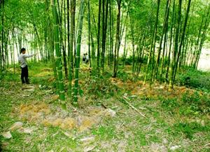 Quan Hóa (Thanh Hóa): Giảm nghèo từ cây luồng