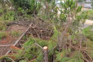 Xác minh hiện trường vụ chặt hạ rừng thông