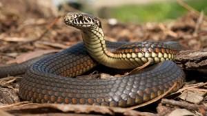 Sơ cứu đúng cách khi bị rắn cắn