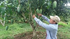 Sơn La: Tăng thu nhập cho dân bằng cây xoài