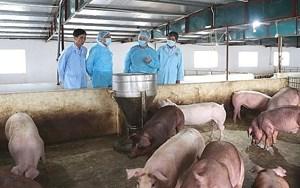Tăng cường phòng, chống dịch tả lợn châu Phi