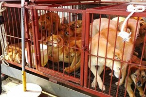 Tăng cường quản lý nuôi, giết mổ, kinh doanh và sử dụng thịt chó, mèo