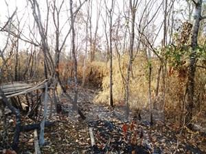 Tây Ninh: Điều tra vụ cây rừng phòng hộ Dầu Tiếng bị 'bức tử' bằng chất độc