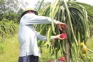 Thận trọng lấy đất lúa để trồng thanh long