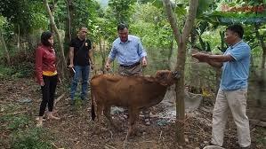 Thất vọng dự án hỗ trợ bò giống cho người nghèo
