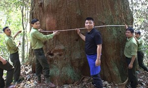 Thêm 10 cây sa mu dầu khổng lồ được công nhận cây di sản