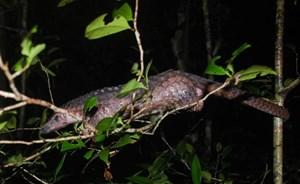 Thêm 33 cá thể tê tê Java quý hiếm được tái thả về tự nhiên