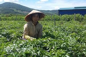 Thu nhập cao từ trồng cây dược liệu