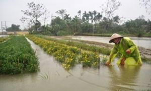 Thừa Thiên Huế: Hàng trăm hộ trồng hoa trắng tay vì lũ
