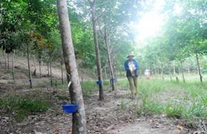 Thừa Thiên - Huế: Lao đao vì cao su rớt giá
