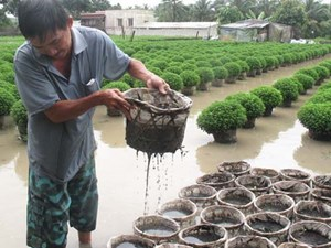 Tiền Giang: Làng hoa TP Mỹ Tho bị thiệt hại nặng do mưa lớn