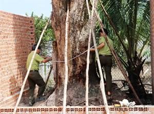 Tìm thấy cây giáng hương trên 100 năm tuổi bị đào trộm tại Tây Ninh