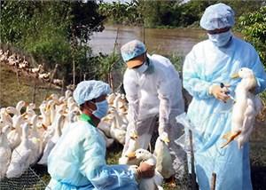 Trước nguy cơ cúm gia cầm xâm nhập Việt Nam: Chủ động ngăn chặn và phòng chống
