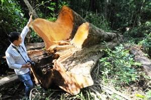 Truy tìm thủ phạm triệt hạ 4 cây gỗ hương