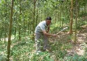 Tuyên Quang:  Đồng bào vùng cao thoát nghèo nhờ trồng rừng