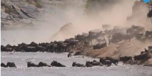 [VIDEO] Cuộc đại di cư trên con sông tử thần tràn cá sấu