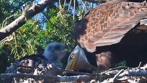 [VIDEO] Đại bàng 'nuôi dưỡng' con mồi khiến chuyên gia sửng sốt