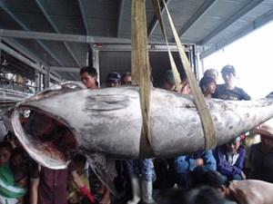 Xác lập kỷ lục Việt Nam cho con cá ngừ vây xanh nặng hơn 3 tạ