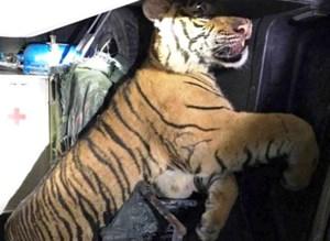 Xe cứu thương chở con hổ đông lạnh nặng 1,8 tạ