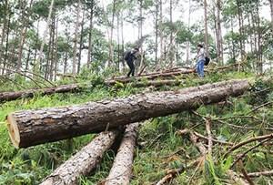 Yêu cầu Chủ tịch UBND tỉnh Lâm Đồng làm rõ các vụ phá rừng