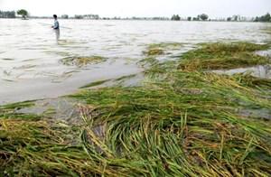 Đà Nẵng: Gần 100 ha lúa, hoa màu  bị thiệt hại do bão