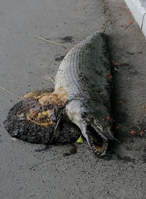 Phát hiện xác một con cá sấu hỏa tiễn trong công viên