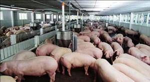 Vì sao giá thịt lợn khó giảm?