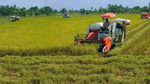 Đồng bằng sông Cửu Long: Giá lúa vụ hè thu cao hơn năm trước