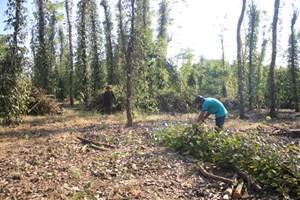 Giá giảm sâu, dân Đồng Nai ồ ạt chặt bỏ nhiều vườn hồ tiêu