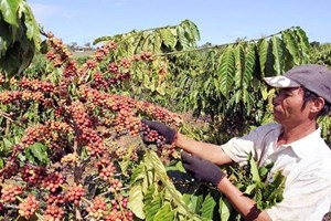 Tái canh cây cà phê ở Kon Tum