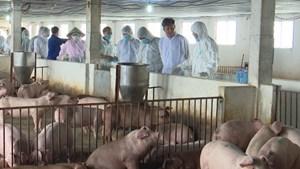Thái Bình: Tổng đàn lợn tăng nhanh, đạt trên 680.000 con