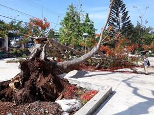 Cây phượng cao 10m bật gốc đổ giữa sân trường tạiĐắk Lắk