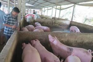 Giá lợn hơi có xu hướng giảm