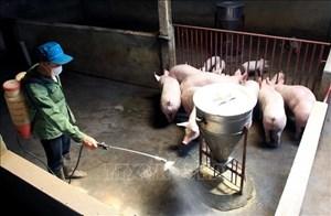 Dịch tả lợn châu Phi nguy cơ tái phát cao