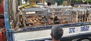 Nghệ An: Bắt quả tang vụ nuôi nhốt 17 cá thể hổ