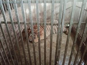 Tiếp vụ bắt 17 con hổ tại Nghệ An:  Nuôi hàng chục con hổ dưới tầng hầm