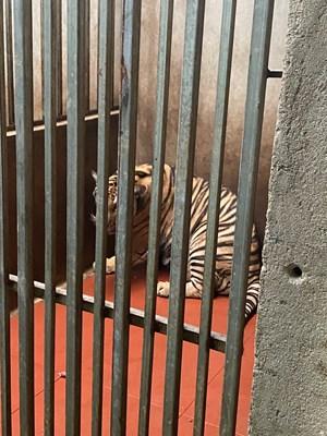 Sau vụ 8/17 con hổ bị chết: 9 con còn lại đang dần phục hồi
