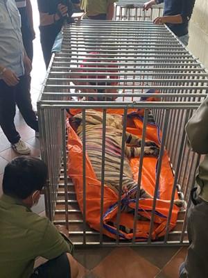 Nghệ An: Khởi tố đối tượng nuôi nhốt hổ trái phép trong nhà