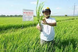 Đề xuất hỗ trợ lúa giống cho nông dân vụ Đông Xuân